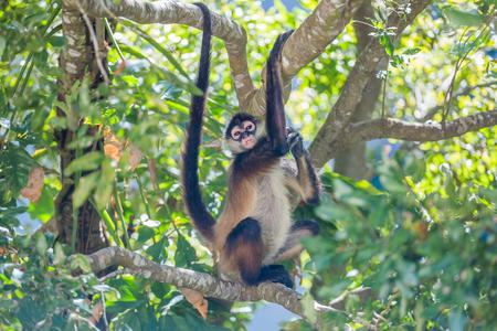 Spider monkey. Mexico