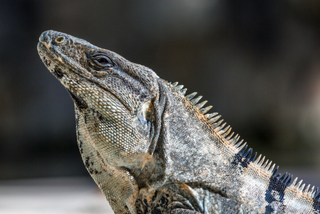 cold blooded: Iguana in wildlife. Cancun, Mexico