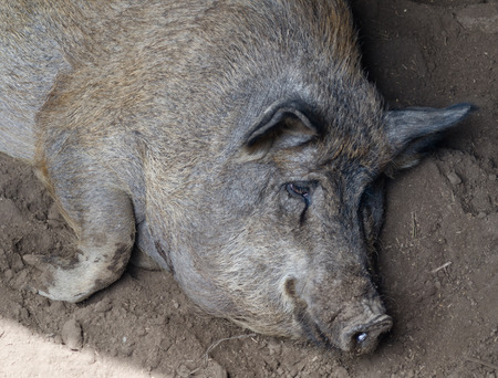 slacker: pig resting in the mud close-up of the background