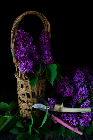 stilllife: still-life with a bouquet of lilacs shears on a black background Stock Photo