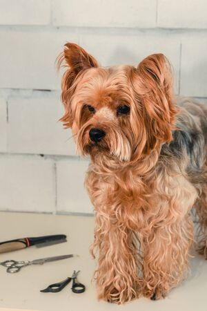 Hygiene of a dog, Yorkshire Terrier trimmed in a zoo, grooming by a master, close-up