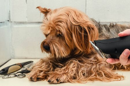 Dog care, grooming Yorkshire Terrier at the Zoo