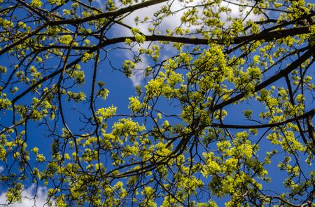 Spring branches of a maple tree with barely blossoming leaves against a blue sky