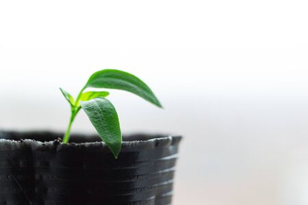 Young plant in a pot, on a white background, in profile, macro Stock Photo