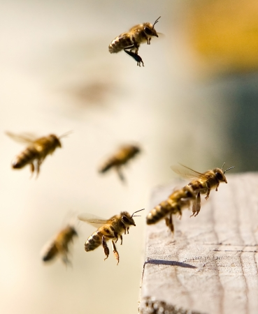 Workaholics has come back home, Some bees in flight come back in a beehive with pollen Standard-Bild