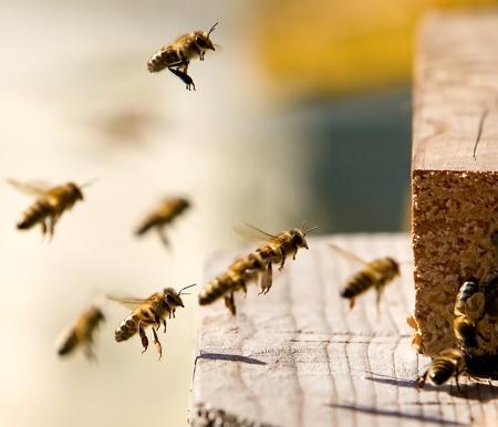 abeilles: Bourreaux de travail est venu � la maison