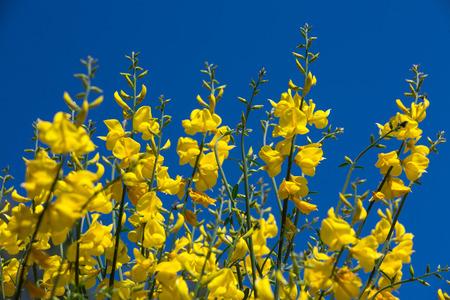hispanica: Genista hispanica - Spring flowering plant of the Caucasus region of Russia Stock Photo