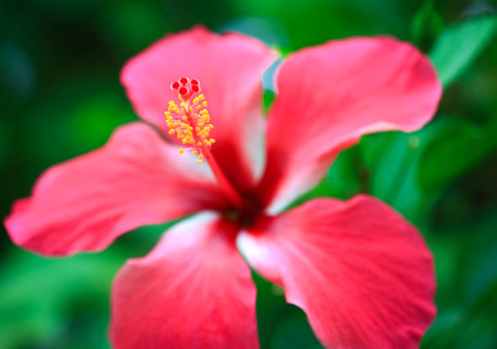 pistil: Blooming hibiscus flower with the pistil and stamen Stock Photo