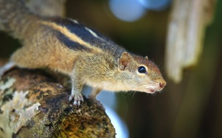 Indian palm squirrel (Funambulus palmarum) - rodent of the family Sciuridae