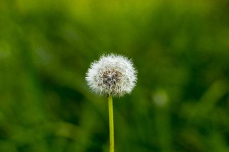 lone: lone dandelion Stock Photo