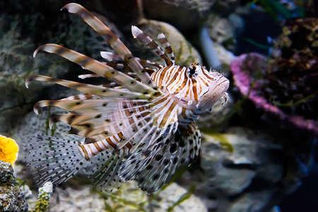 subaquatic: Red lionfish Pterois volitans in an oceanarium