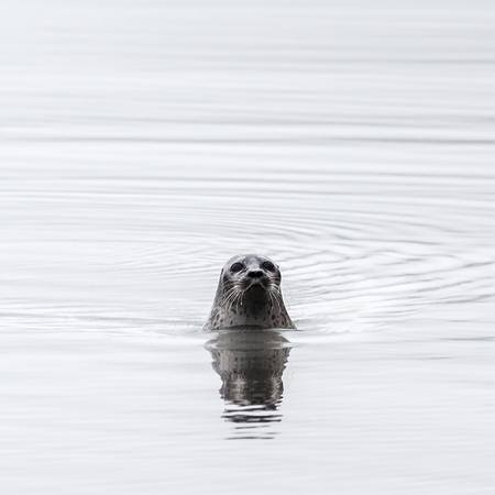 wilding: The seal floats in the pestilence about an archipelago Novaya Zemlya shore