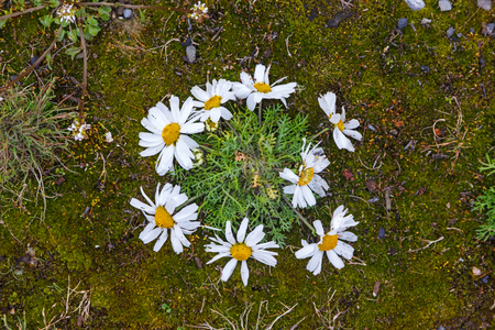 frontier: The camomile subpolar  (Matricaria subpolaris) grows in terrain of the thrown frontier post on Menshikovs headland in the south of Novaya Zemlya Stock Photo