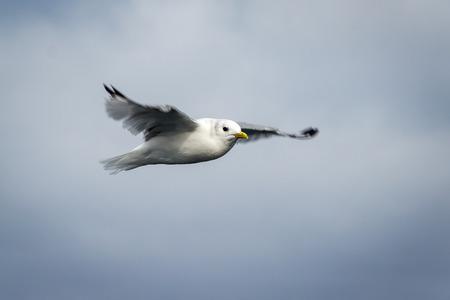 wilding: The seagull flies over waters of Kara sea Stock Photo