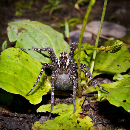 wilding: Female of a spider with a cocoon, photographed on the Badzhalsky ridge in Khabarovsk territory. Stock Photo