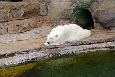 zoological: The polar bear (Ursus maritimus) sleeps in a zoological garden.