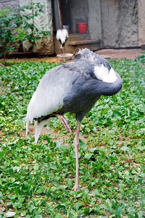 sleeps: Gray crane (Grus grus) in a zoological garden sleeps, standing on one foot. Stock Photo