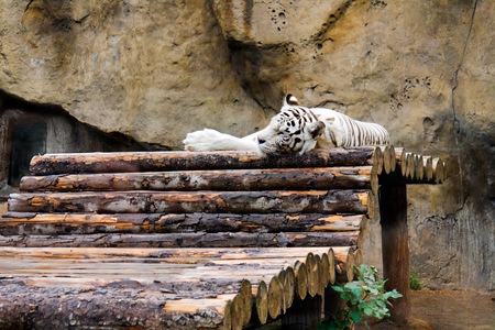 panthera tigris: The white tiger (Panthera tigris) in a zoological garden sleeps on a scaffold from logs.