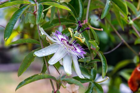 passionflower: Passionflower (Passiflora caerulea) flower Stock Photo