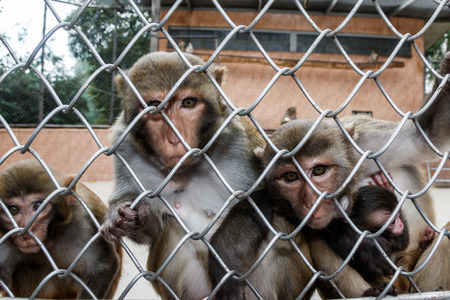 Monkeys in cages in the Sukhumi nursery of monkeys which belongs to scientific research institute of an experimental pathology and therapy of Academy of sciences of Abkhazia. Stock Photo