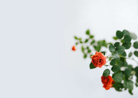close-up of roses on white background