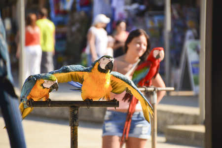 Pair of parrots with a yellow belly, blue wings and green crest