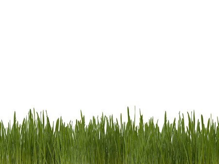 Fresh sprouts of grass bright green color on a white background