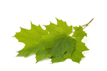 Maple leaf with small veins symbol of the state of Canada sign on white background 版權商用圖片