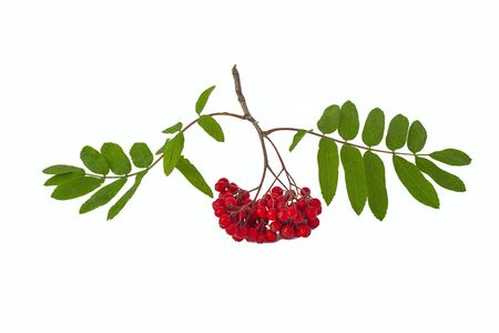 Fresh with green leaves a branch of red ripe Rowan fruit on a white background