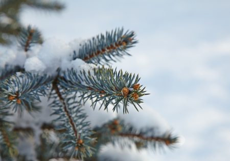 Snow Covered Fir Tree Branches with small cones. Close-Up. Selective focus photo