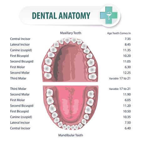 Anatomische stomatologische atlas van mondholte. Schematische weergave van de plaats van de tanden bij mensen en hun namen. Stock Illustratie