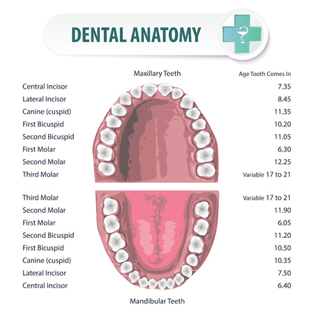 Anatomical stomatologic atlas of oral cavity. Schematic depiction of the location of teeth in humans and their names.