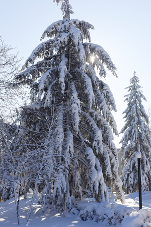 Photo of two big Christmas trees covered with snow on a winter sunny day