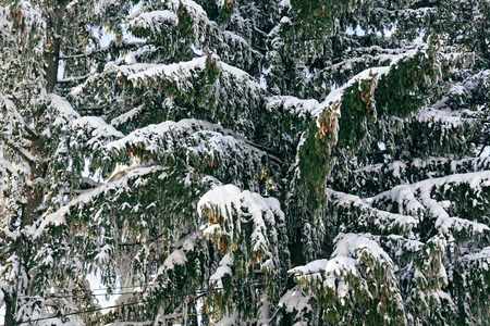 Photo Winter etude dense fir trees covered in snow with a background of green branches employees 版權商用圖片 - 94226436