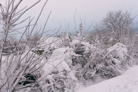 Photo of a winter landscape with trees. Snow-covered trees, branches and land with high snowdrifts 版權商用圖片
