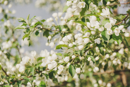 Blossoming of an apple tree apple trees have blossomed flowers blossoming of an apple tree apple trees have blossomed flowers on a mightylinksfo