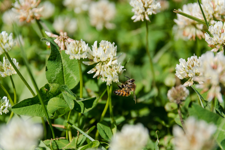 Clover with a bee. White clover. The bee pollinates a clover in the field. Stock Photo