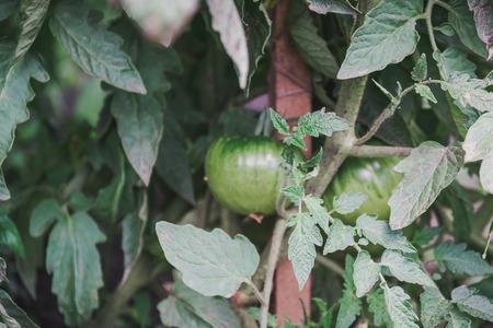 Green tomato. Green volumes. The tomato spet. A tomato on a bush Stock Photo