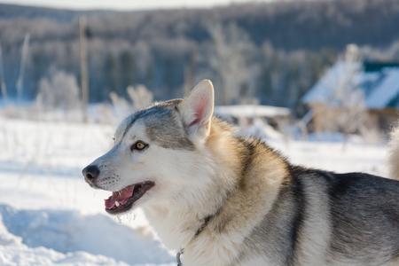 Huskies. Riding haskiya in inverno. Cane da tiro in inverno in gruppo. Archivio Fotografico - 90608115