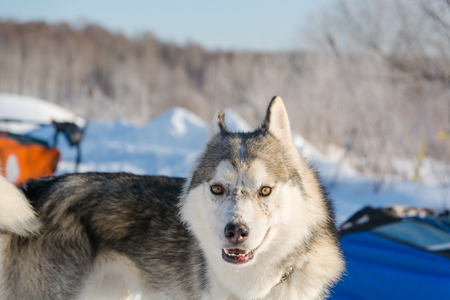 Huskies. Riding haskiya in the winter. Draft dogs in the winter in a team. Stock Photo