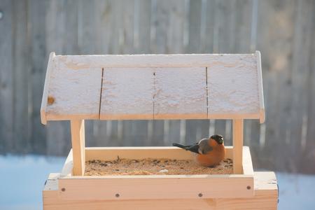 Bullfinch with birds pecks grain in the bird feeder in winter