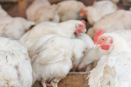 A hen. Close-up of a chicken. Coop. White chicken.