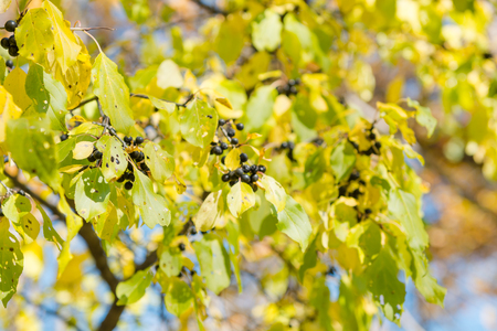 Black Berry Buckthorn Plant. Black poisonous berry. Bunch of berries Stock Photo