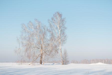 Birch forest in winter. Birch in the snow. Winter forest. Siberian forest. Birch Stok Fotoğraf - 116783546