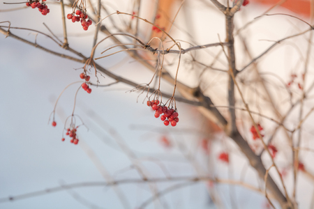 Berry in winter on a tree. Red berry in the winter weighs on the branch. A lot of berries in the winter on the tree. Winter berry. Stok Fotoğraf - 116783559