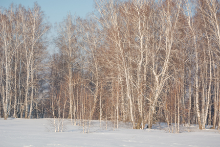 Trees in the winter forest. The dark landscape. Winter in Russia. The beauty of winter nature. Forest in the snow. Stok Fotoğraf - 116783515