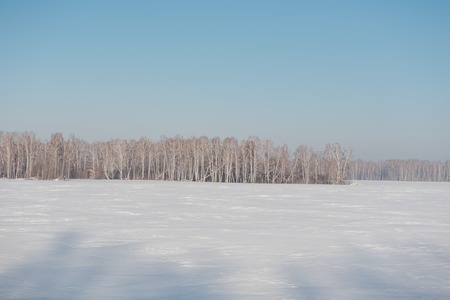 Birch forest in winter. Birch in the snow. Winter forest. Siberian forest. Birch Stok Fotoğraf - 116783301