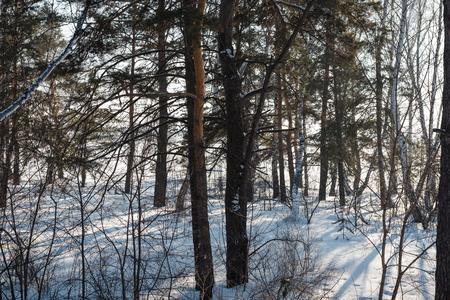 Winter forest. Field and forest under the snow. Winter in Siberia. Lots of snow in winter in the forest. Birch under the snow. Stok Fotoğraf