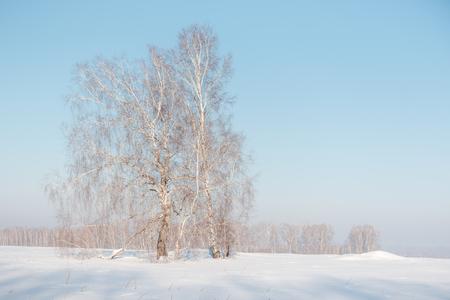 Birch forest in winter. Birch in the snow. Winter forest. Siberian forest. Birch Stok Fotoğraf - 116783327