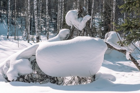 Coniferous forest in winter. Taiga in the winter. Forest in Siberia in the winter. Coniferous trees close-up. Stok Fotoğraf